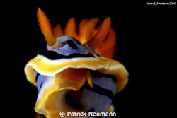 ordinary nudi from Anilao .. by Patrick Neumann